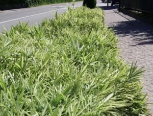 Pleioplastus fortunei variegatus